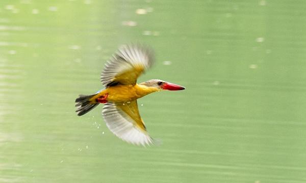 Stork-billed Kingfisher-Flying shot by Pari56