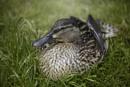 duck by annaliese