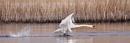 Mute Swan by bobpaige1