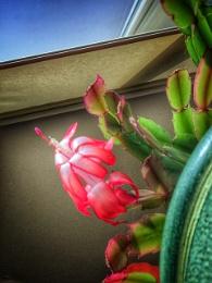 Christmas Cactus Blossom 2/2018