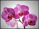 Phalaenopsis by ThePixelator