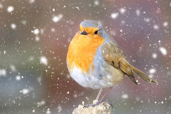 "\""Rotund Robin\"". by adrianedwa"