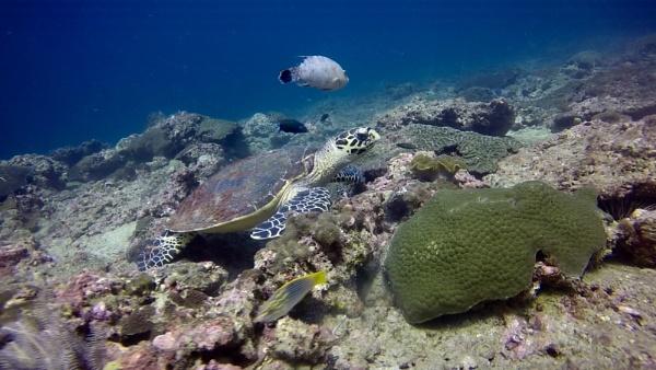 Green Turtle at Koh Bida: Phi Phi Islands: Thailand by Bludevil