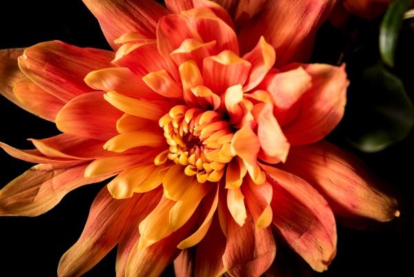 Chrysanthemum - the Kracken! by Bp122