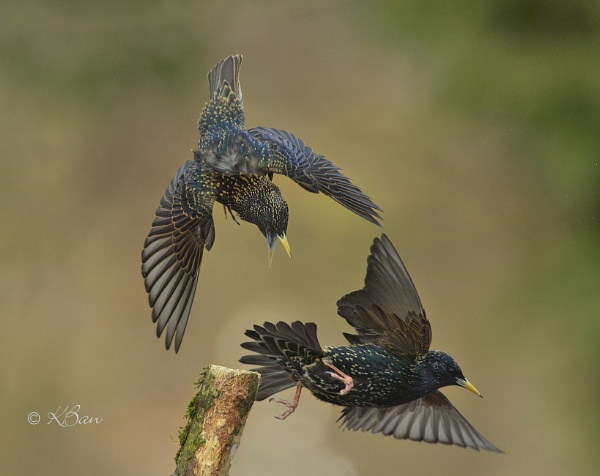 Starling Struggle by KBan