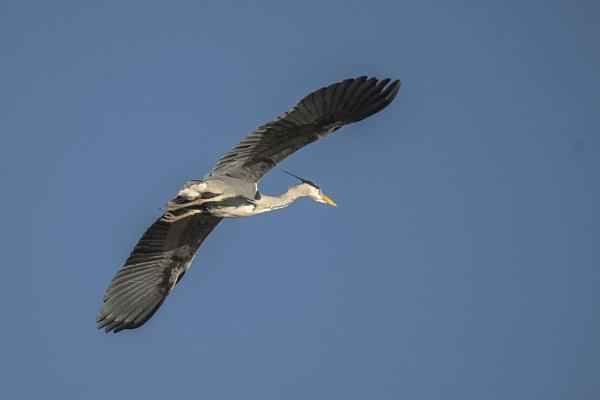 Heron Overhead by chensuriashi