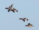 Wigeon in flight by oldgreyheron