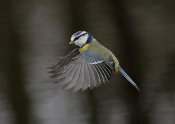 Blue Tit in Flight by NeilSchofield