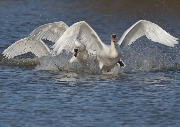 Swan Action by NeilSchofield