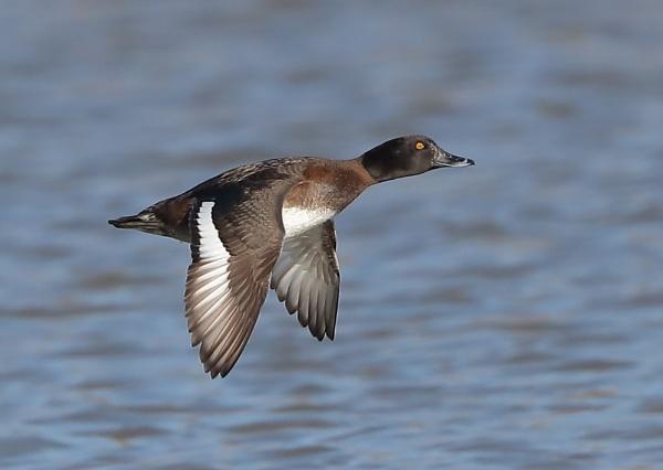 Ferruginous Duck in Flight