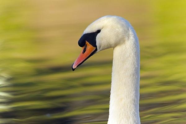 Mute Swan by KeithMac