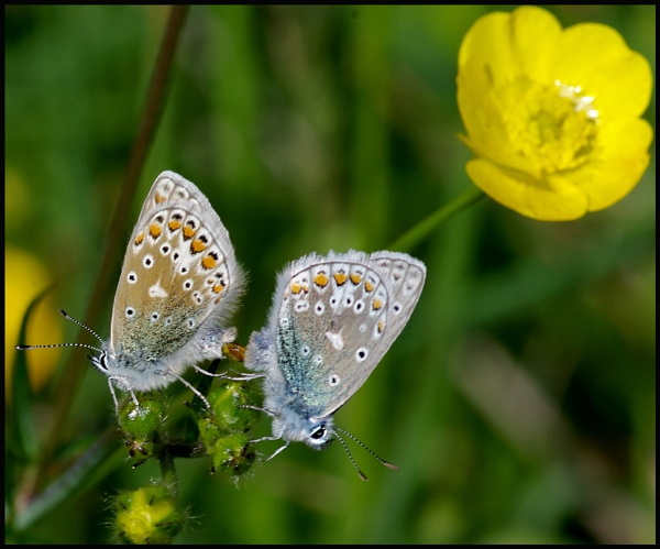 Common Blues Mating.. by Badgerfred