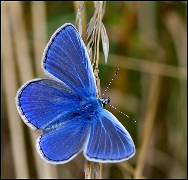 Common Blue Butterfly-Male.. by Badgerfred