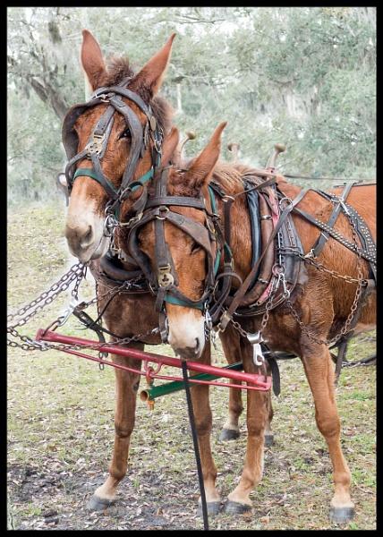 mules in love by wsteffey