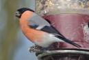 Bullfinch by colin beeley