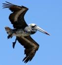 Pelican , Patagonia by peterthowe