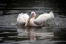 Pelican by peterthowe