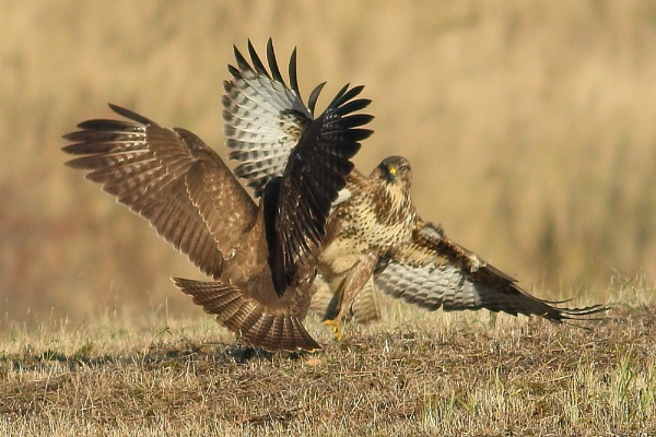 Buzzard Squabble by TerryMcK