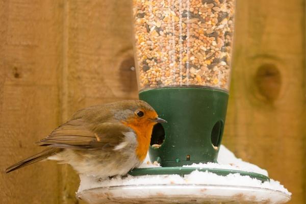 Robin Feeding by 41sPH0T0S
