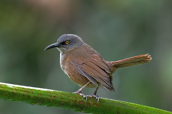 Brown Trembler (Cinclocerthia ruficauda) by Ray_Seagrove