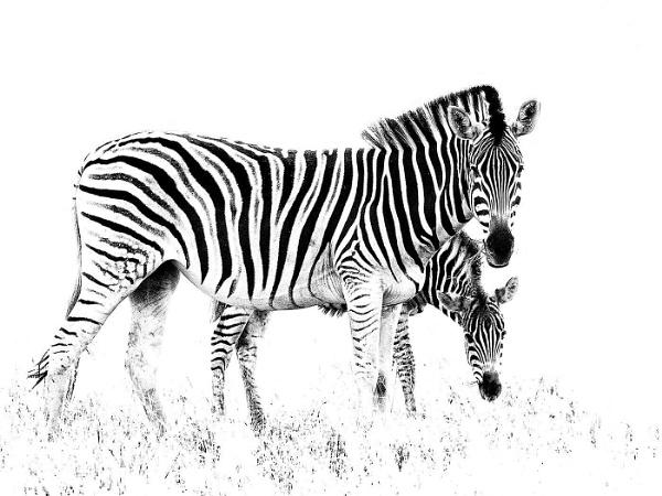 Zebras - high key by Jamie_MacArthur