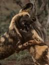 Wild Dogs by Jamie_MacArthur