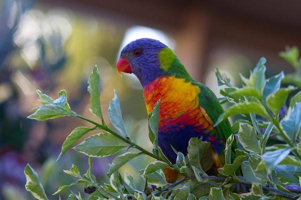 Rainbow Lorikeet by dave37