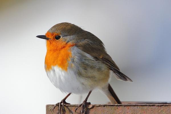 Robin by Bigdenbo