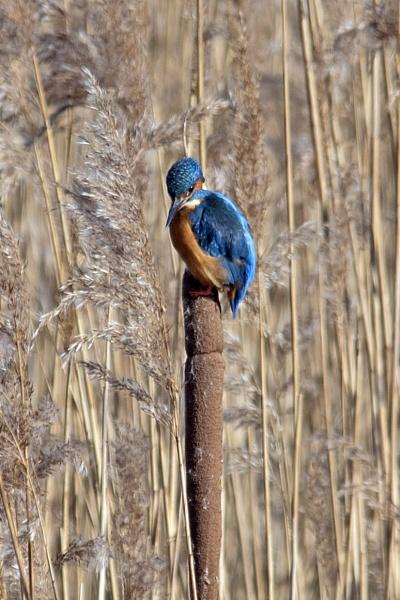 Kingfisher by Gavin_Duxbury