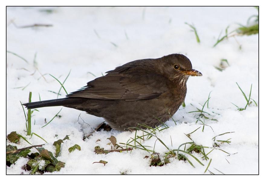 Blackbird digging in the snow