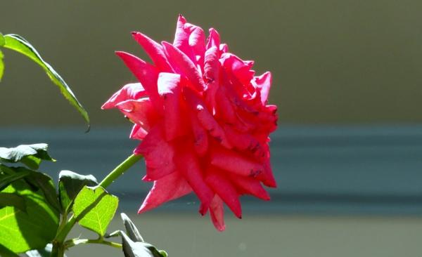 Rose.....Roses........!