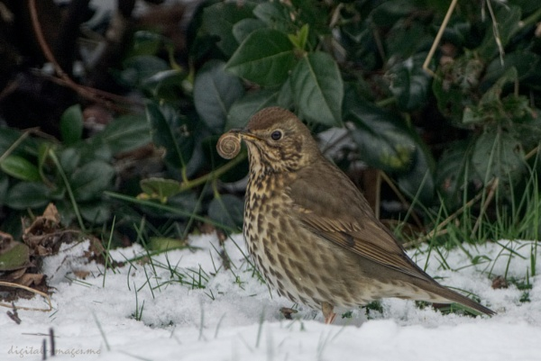 Thrush with Lunch