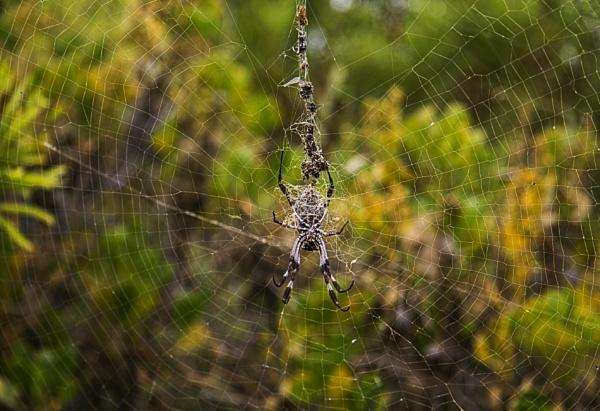 Australian Spider by Irishkate