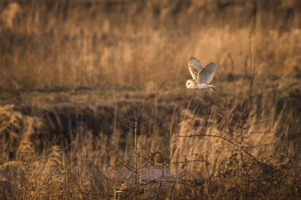 Hunting Barn Owl by BydoR9
