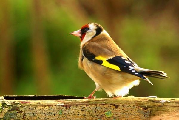 Goldfinch by georgiepoolie