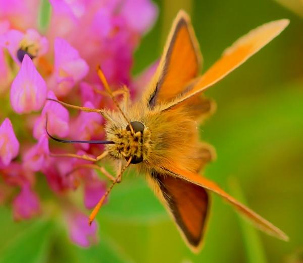 Skipper Butterfly 2 by georgiepoolie