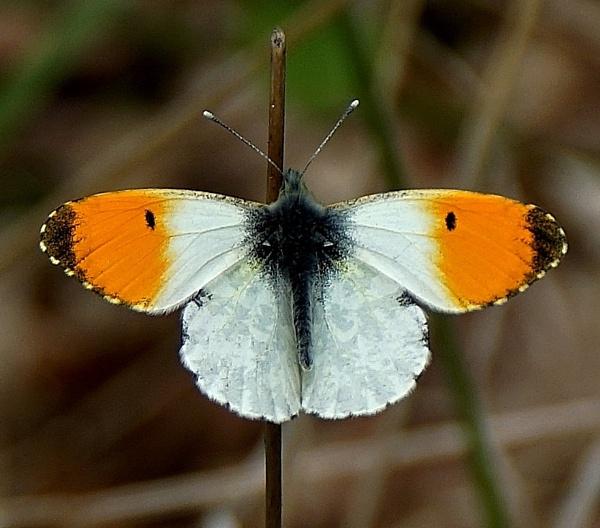 Orange tip Butterfly by georgiepoolie