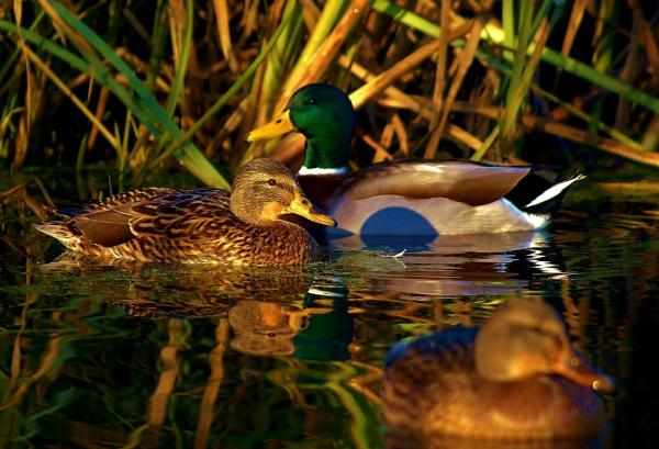 Ducks on pond by georgiepoolie