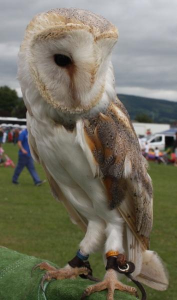 Barn Owl by ddolfelin