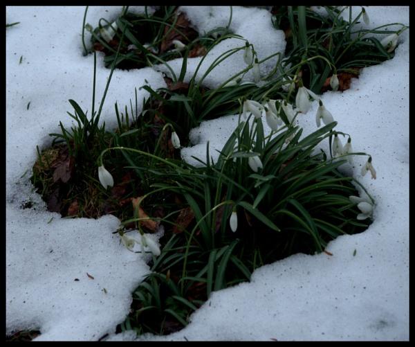 SNOWDROPS. by kojack