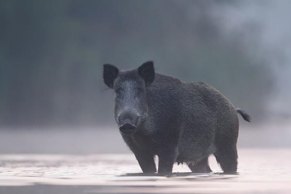 Wild Boar by zimen