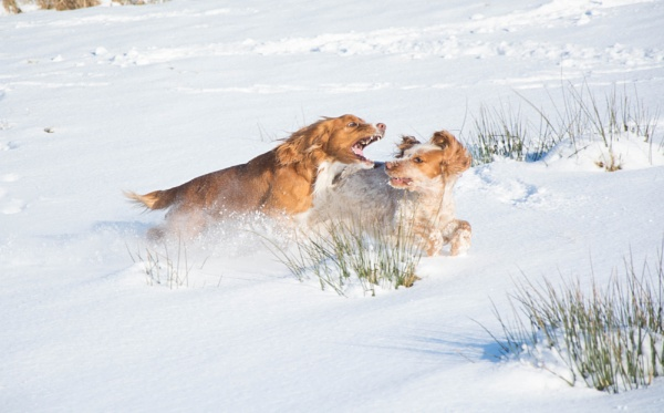 Playtime in the snow by CumbriaDogTraining