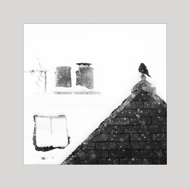 Blackbird in snowstorm