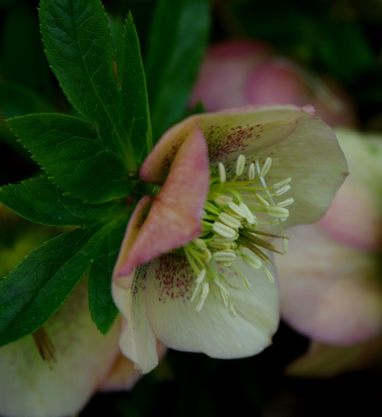 Another Hellebore by pentaxpatty