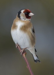 Goldfinch M 037