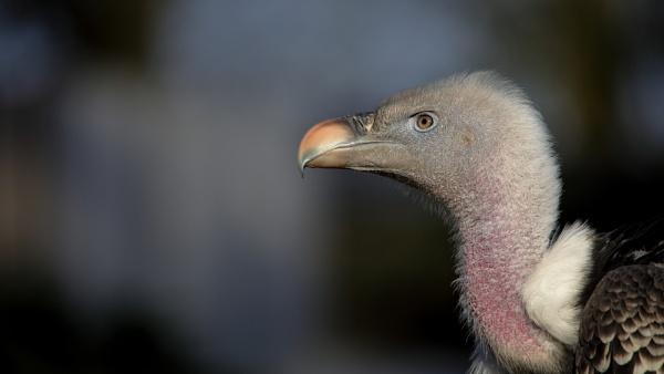 Vulture by Stevetheroofer