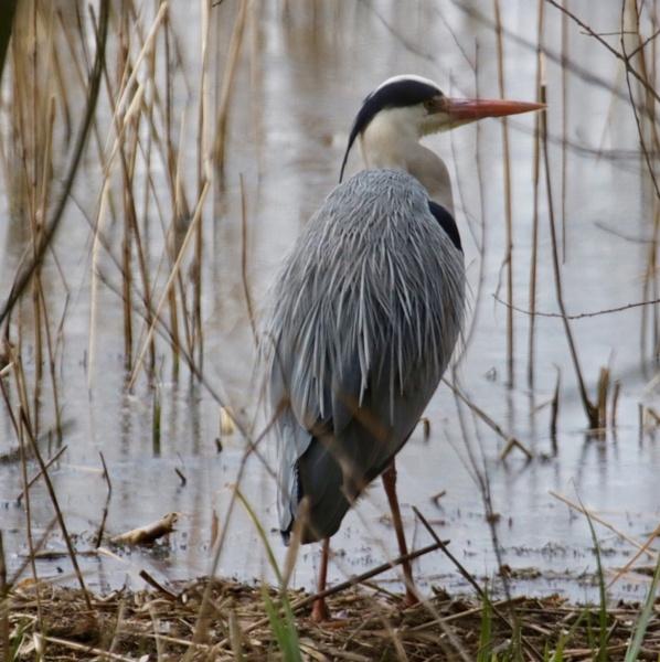Heron by Lencollard