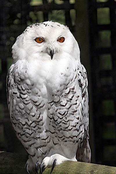 Snowy Owl-Nyctea scandiaca by bobpaige1