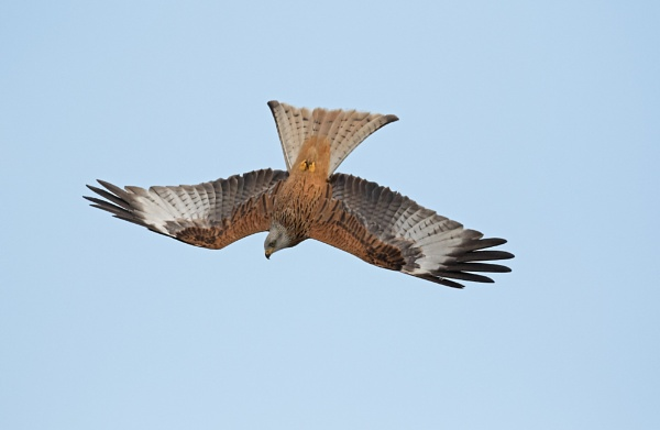 Red Kite by KevR