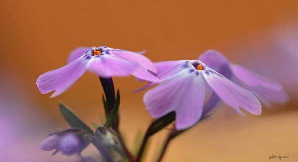 Flowers... by Nino812